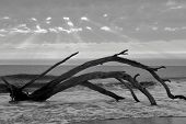 foto of jekyll  - Remains of a maritime forest on Jekyll Island GA - JPG