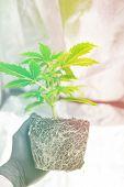 Cannabis Transplantation. Macro Healthy Cannabis Roots. Professional Cannabis Cultivation Grow. Cbd  poster