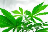 Northern Light Strain. Grow In Grow Box Tent. Planting Cannabis. Grow Legal Recreational Cannabis. C poster