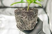 Cbd In Marijuana Roots. Cannabis Transplantation. Professional Cannabis Cultivation Grow. In The Han poster