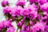 Blooming Pink Magenta Rhododendron Flowers, Woody Plants poster