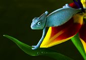 stock photo of chameleon  - Chameleons belong to one of the best known lizard families - JPG