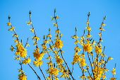 Yellow Flower Bush On Blue Sky Background. Yellow Flowers. Blooming Flowers. Bush With Yellow Flower poster
