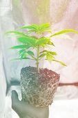 Cannabis Transplantation. Cbd In Marijuana. Macro Healthy Cannabis Roots. Professional Cannabis Cult poster
