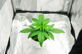 Cultivation Growing Under Led Light. Cannabis Plant Growing. Marijuana In Grow Box  Tent. Close Up.  poster