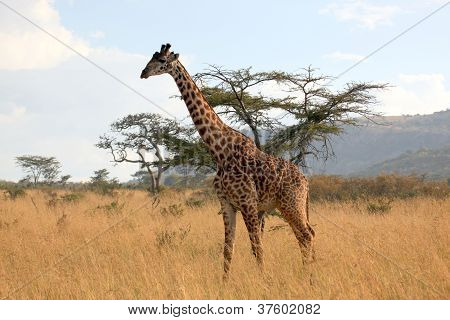 The Roaming Giraffe