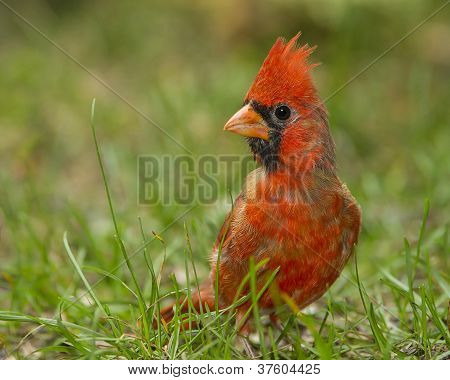 Northern Cardinal On The Ground