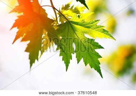 Maple Leaves Red And Green