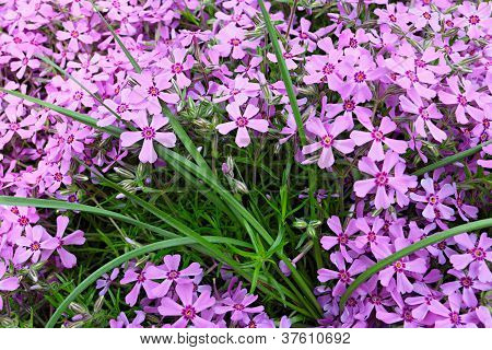 Small Pink Flowers In Green Grass