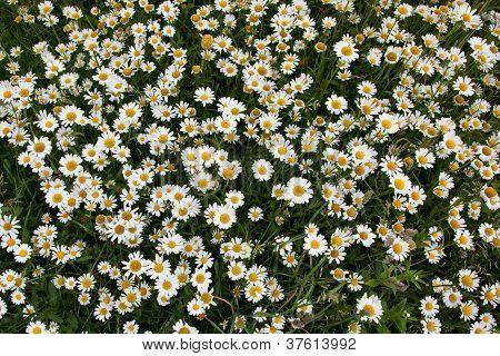 Daisy Meadow