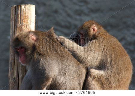 One Monkey Grooming Another