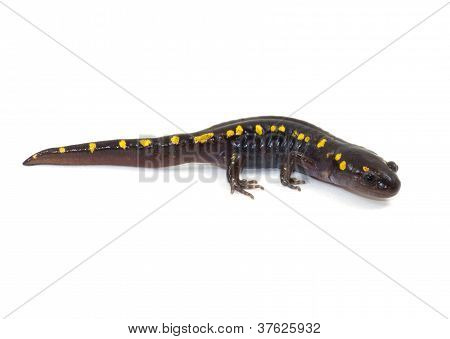 Spotted Salamander Isolated on White