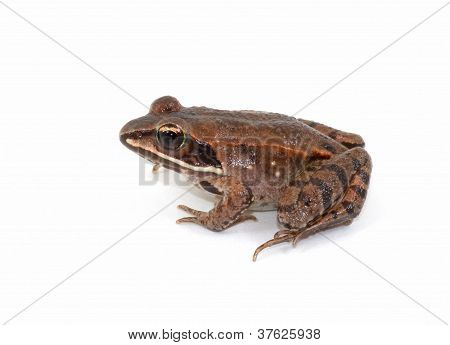 Isolated Wood Frog