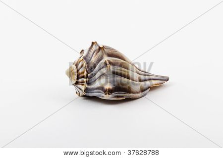 A Knobbed Whelk.