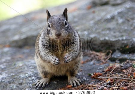 Fat Little Squirrel