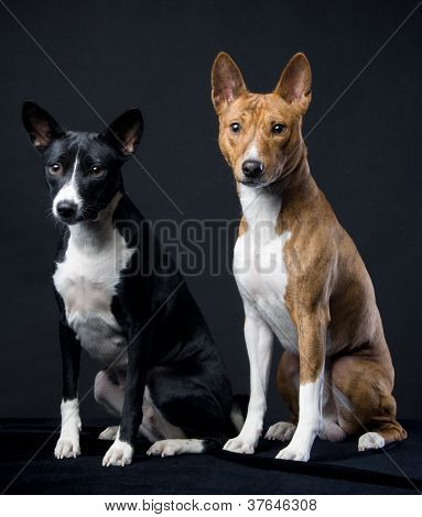 Black and brindle basenjis