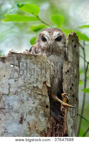 The Bare-legged Owl Or Cuban Screech Owl (gymnoglaux Lawrencii)