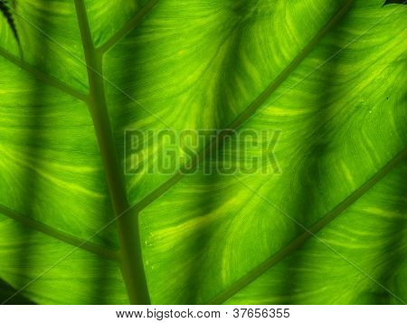 Sunlight through a yellow and green leaf with parralel shadows