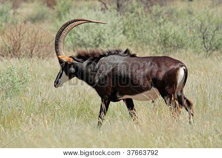 Palanca-negra