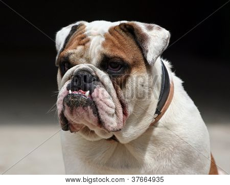 Morose Bulldog