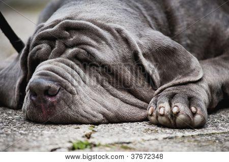 gray mastiff dog lying and sleeps