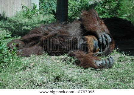 Napping Ape