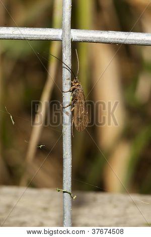 Caddis Fly em uma cerca