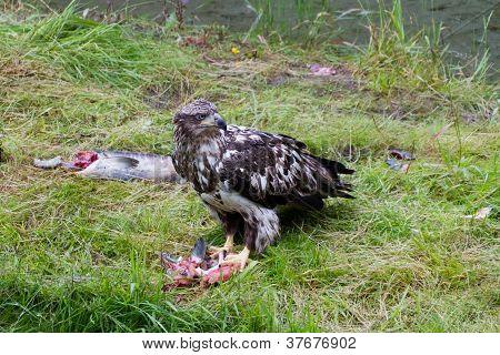 Bald Eagle Eating Salmon