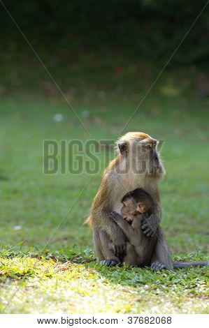 Monkey Breastfeed Her Baby