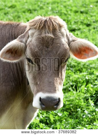 Cow portrait