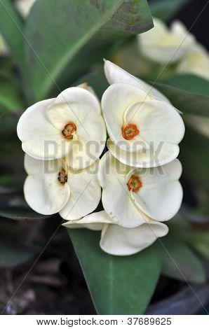Poi Sian Flowers