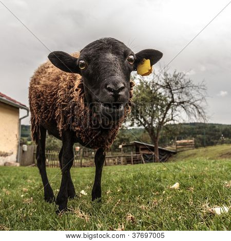 Crazy Brown Sheep