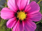 foto of cosmos flowers  - beautiful sunlit  pink cosmo - JPG