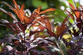 foto of crotons  - Croton (Codiaeum) on a green background in the Botanical Garden