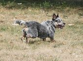 stock photo of blue heeler  - Blue heeler dog running full speed and smiling - JPG