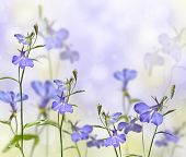 stock photo of lobelia  - garden flower lobelia with a blurred background - JPG