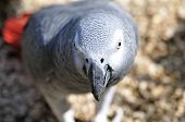 pic of polly  - Detailed image of African Grey parrot s head - JPG
