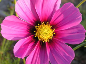picture of cosmos flowers  - beautiful sunlit  pink cosmo.   a reseeding annual from the sensation variety mix.  - JPG