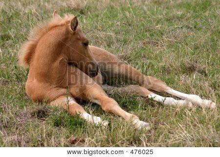Palomino Foal Sleeping