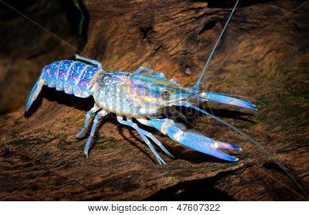 Colourful Australian Blue Crayfish - Cherax Quadricarinatus In Aquarium