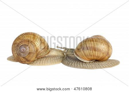 Pair of  snails kissing each other
