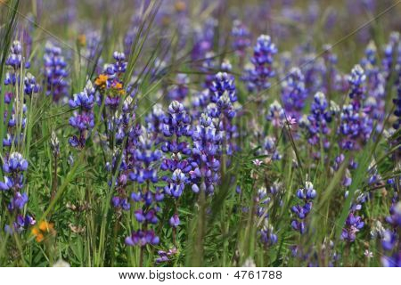 Field Of Wild Lupin