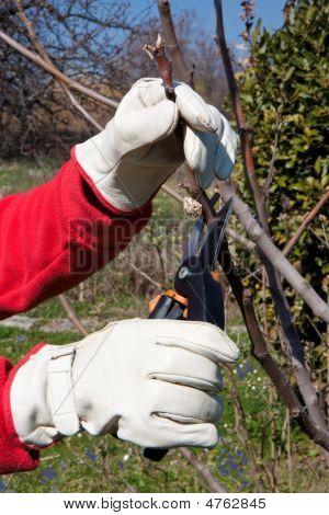 Gardening, Pruning