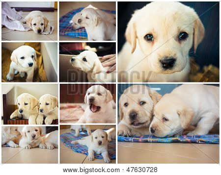 Golden Retriever Puppy Of 7 Weeks Old. Set, Collage