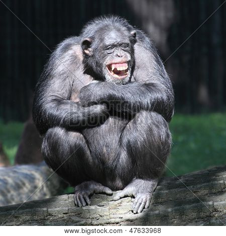 Smiling happy Chimpanzee.