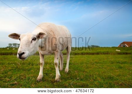 Suspicious Sheep Via Wide Angle