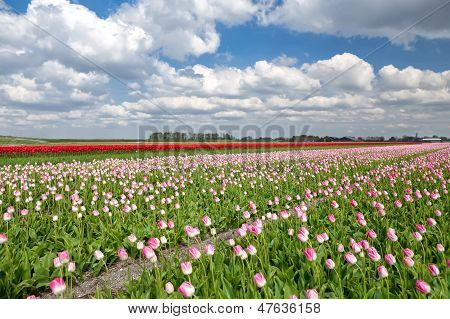 Red And Pink Tulip Field