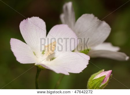 Pink Poppy mallow, Callirhoe alcaeoides flower blooming in summer