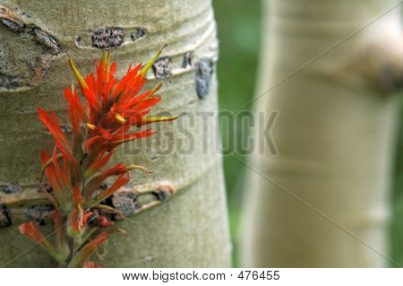 Aspen Trees And Indian Paintbrush