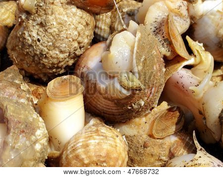 Fresh Whelks